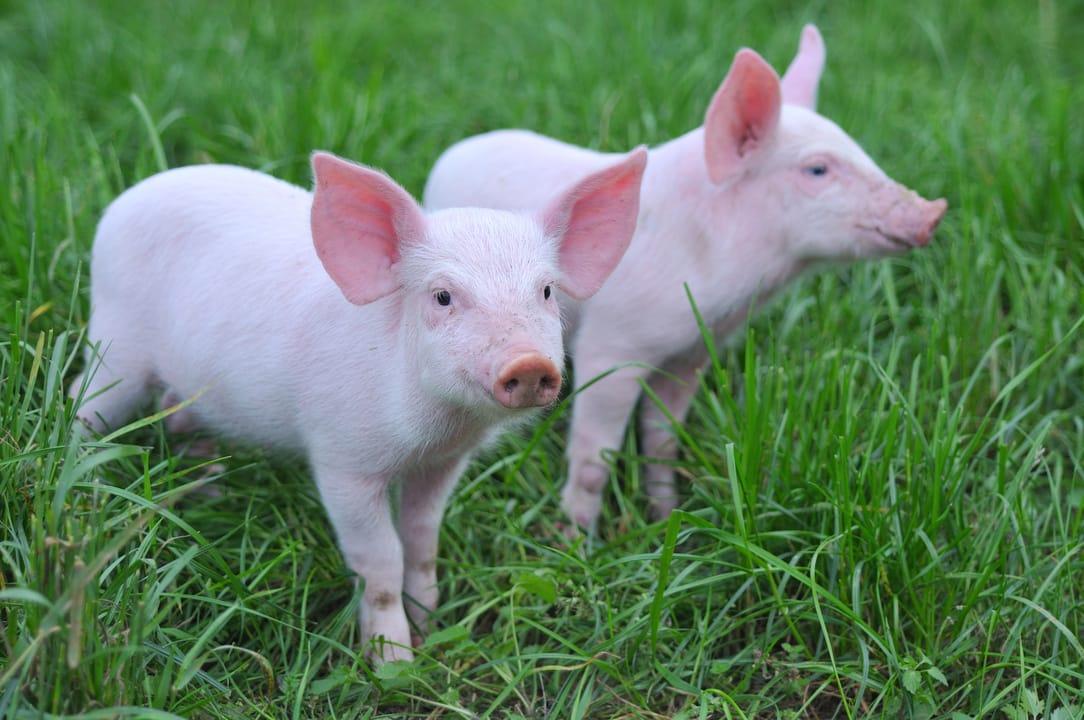App in Pigs - Actinobacillus pleuropneumoniae / Swine
