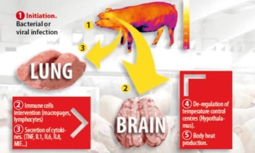 Pracetam / Analgesics / Swine / Ceva United Kingdom